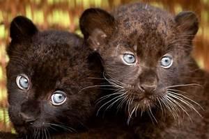 Blue Eyed Panther Cubs   life   Pinterest