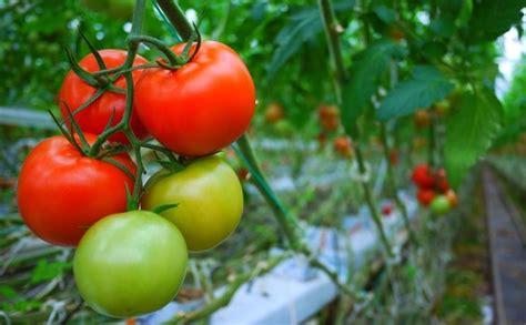 coltivare pomodori in vaso coltivare pomodori coltivazione ortaggi coltivazione