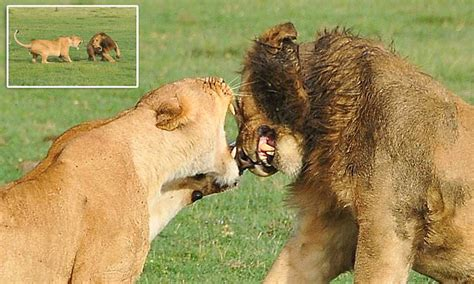 lioness bites  lone male   face  kenya daily