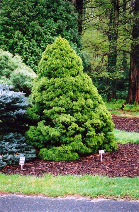 dwarf alberta spruce picea glauca conica  burlington