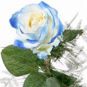 Rose Weiss Blau Blumen online deutschlandweit bestellen mit www blumenfee de dem Blumenversand