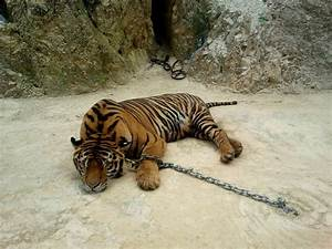 """Thailand's Controversial """"Temple Tigers"""" Are Finally Free ..."""