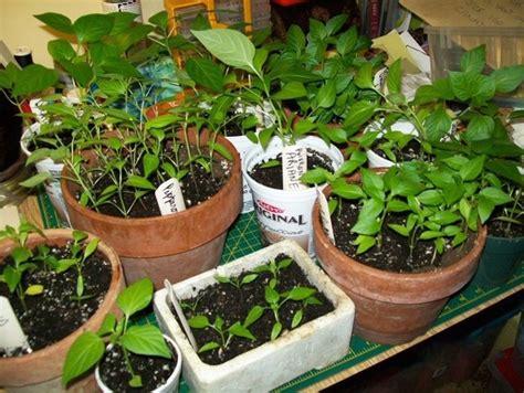 culture poivron en pot poivron semis culture r 233 colte