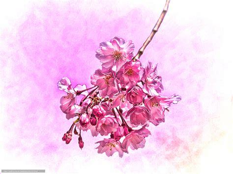 下载壁纸 樱花, 画 免费为您的桌面分辨率的壁纸 1600x1200 — 图片 №81157