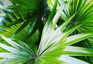 Phoenix Canariensis Entretien : phoenix canariensis palmier des canaries entretien arrosage qamp ~ Melissatoandfro.com Idées de Décoration