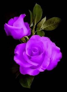 Langage Des Fleurs Pivoine : pingl par fabienne claude sur beautiful roses fleurs belles fleurs et planter des fleurs ~ Melissatoandfro.com Idées de Décoration