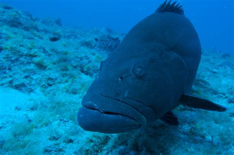 grunts grouper food fish open tasty operate ecosystems coastal brain windows into hump groupers species dry varieties don jacks lessons