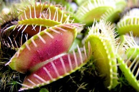 caring for venus fly trap how to care for venus fly traps dengarden