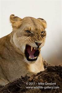 Angry Lioness | Animals | Pinterest