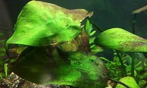 Blue Algae In Aquarium | www.imgkid.com - The Image Kid ...