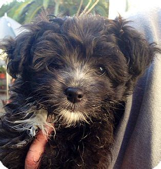 Janet Jackson Adopted Puppy Encino Ca Pomeranian Poodle Miniature Mix