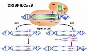 How Does Crispr  Cas9 Work