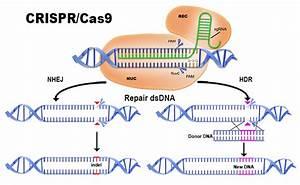 How Does Crispr  Cas9 Work