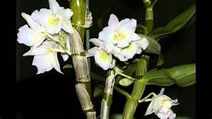 Comment Soigner Une Orchidée : l 39 orchid e dendrobium nobile time lapse youtube ~ Farleysfitness.com Idées de Décoration