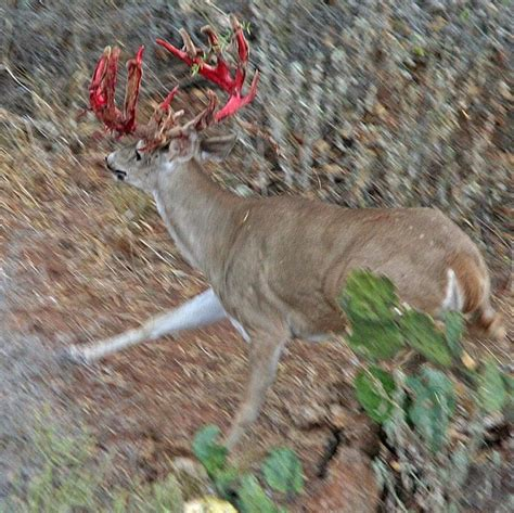 Whitetail Deer Shedding Velvet by Shedding Velvet Whitetail Deer