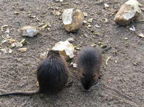 Rattengift, Rattenköder, Rattenfallen, Rattenbekämpfung