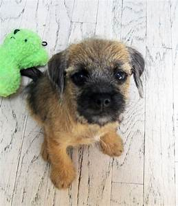 118 best images about Border Terrier on Pinterest ...
