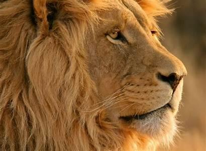 Lion Screensavers Screensaver Wallpapersafari