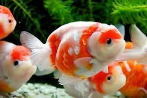 Ranchu 18   Ranchu Gold Fish   Oranda goldfish, Fish ...