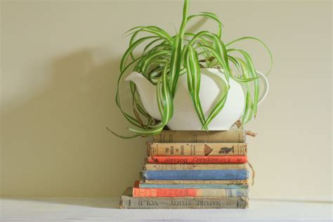 tanaman indoor  tidak rewel meski hidupnya jauh