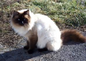balinese cat balinese cats new images 2012 animals