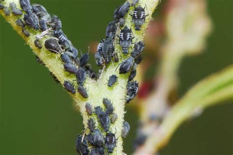 Bild 3  Schädlinge Im Garten Am Pflanzenstängel Finden