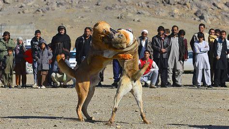 Luta de cães em Kabul, no Afeganistão