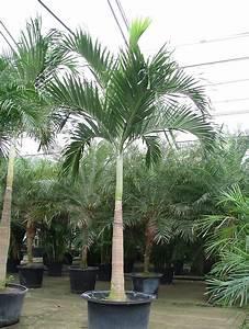 Palmen Kaufen Baumarkt : veitchia adonidia merrillii palme kaufen shop alle gr ssen ~ Orissabook.com Haus und Dekorationen