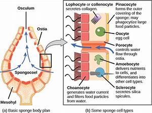 28 1  Phylum Porifera