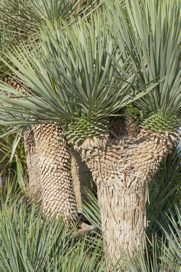 Fiche De Culture Et D'entretien Du Yucca