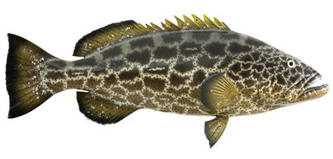 grouper fish fishes mount spearfishing replica mycteroperca bonaci mounted prev catch trophy graytaxidermy