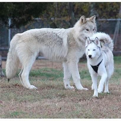 Wolf Comparison Husky Pup Grown Wolves Left