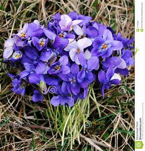 Bouquet Of Violets Royalty Free Stock Image - Image: 21762066