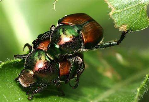 Japanese Beetle Control  What's That Bug?