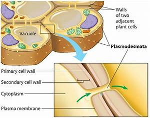 How the Cell Wall is Formed? – Answered!