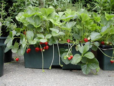 urban green spectacular  irrigated strawberries