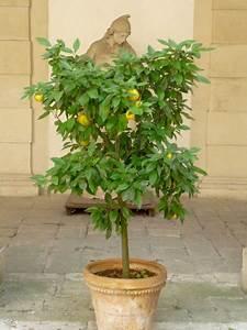 Dünger Für Zitronenbaum : den zitronenbaum d ngen und richtig pflegen weniger ist mehr ~ Watch28wear.com Haus und Dekorationen