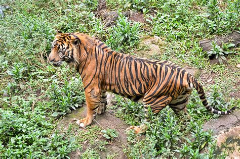 harimau sumatera kucing terbesar  indonesia negeri subur
