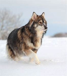 utonagan-Mix between Alaskan Malamute, German shepherd and ...