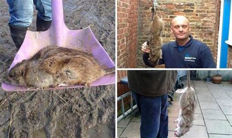 easter   perfect time  mutant rats  thrive