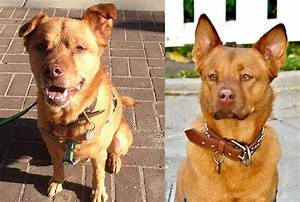 Hematomas In Dogs Ears - Goldenacresdogs.com