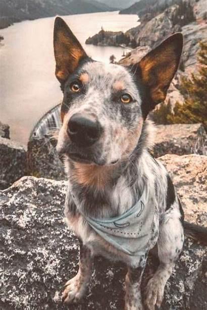 Heeler Dog Cattle Facts Australian Dogs Silhouette