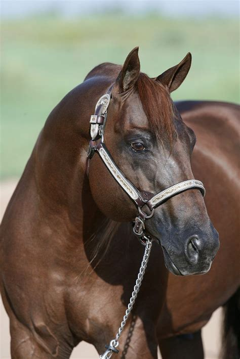 horse reining quarter sires horses pleasure quarterhorsenews