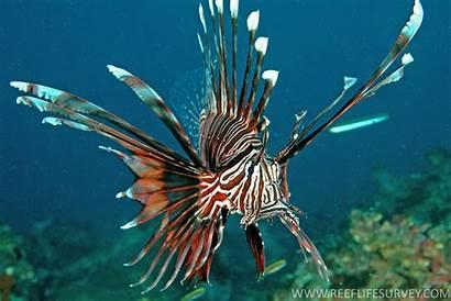 Pterois Volitans Lionfish Volitan Fish Australia Adult