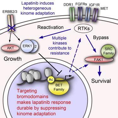 inhibition  lapatinib induced kinome reprogramming
