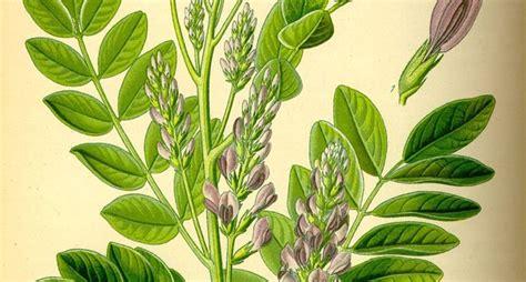 pianta di liquirizia in vaso pianta della liquirizia aromatiche coltivare la liquirizia