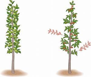 Baum Fällen Anleitung : s ulenobst richtig schneiden und pflegen garten pflanzenpflege ~ Yasmunasinghe.com Haus und Dekorationen