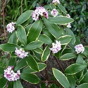 Arbuste Plein Soleil Longue Floraison : un hiver parfum les meilleurs arbustes parfum gamm vert ~ Premium-room.com Idées de Décoration