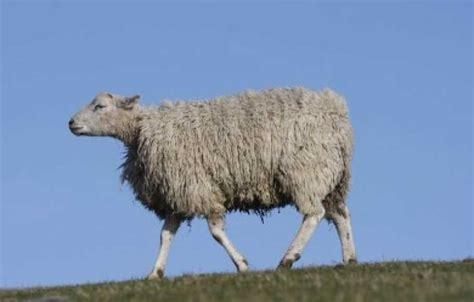 indonesia akan impor domba dari australia dan selandia baru