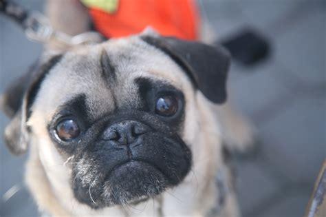 rescue  pug rescue  sacramento yellow dog blog